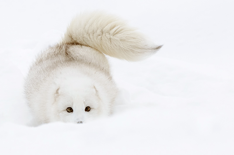 The gallery for --> Baby White Arctic Foxes - photo#44