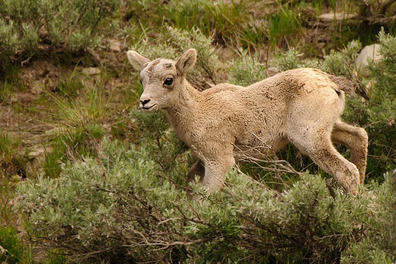 Desert Bighorn Sheep Baby