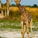 Giraffe - Jeff Wendorff Photographer