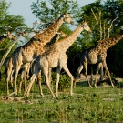 Giraffe Herd - Jeff Wendorff Photographer