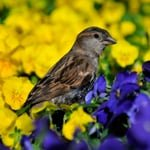 House Sparrow in a pansy field - Jeff Wendorff Photographer