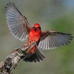 Landing Vermilion Flycatcher - Jeff Wendorff Photographer
