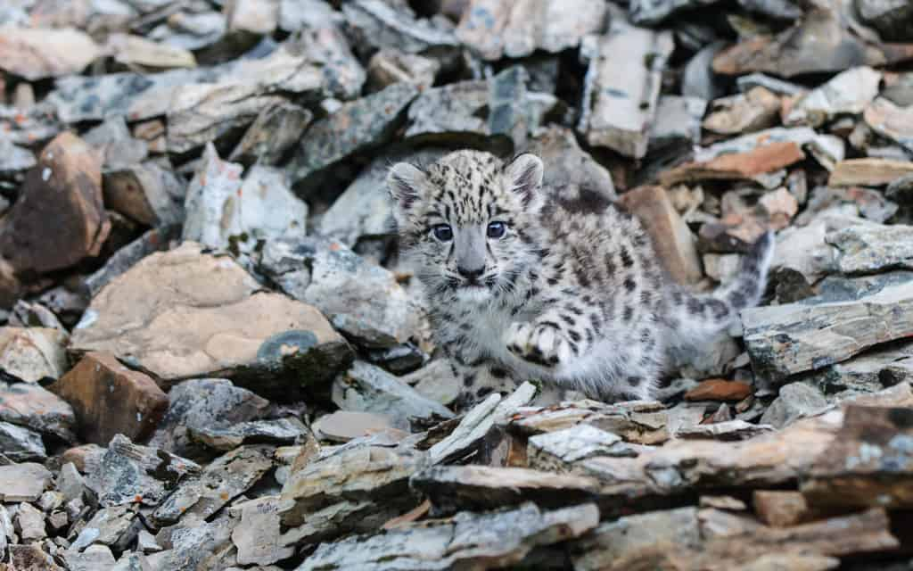 Snow Leopard Kitten