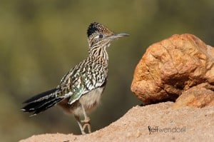 Greater Roadrunner photographed by Jeff Wendorff