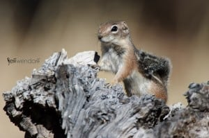 Harris's Antelope Squirrel, Ammospermophilus harrisii photographed by Jeff Wendorff