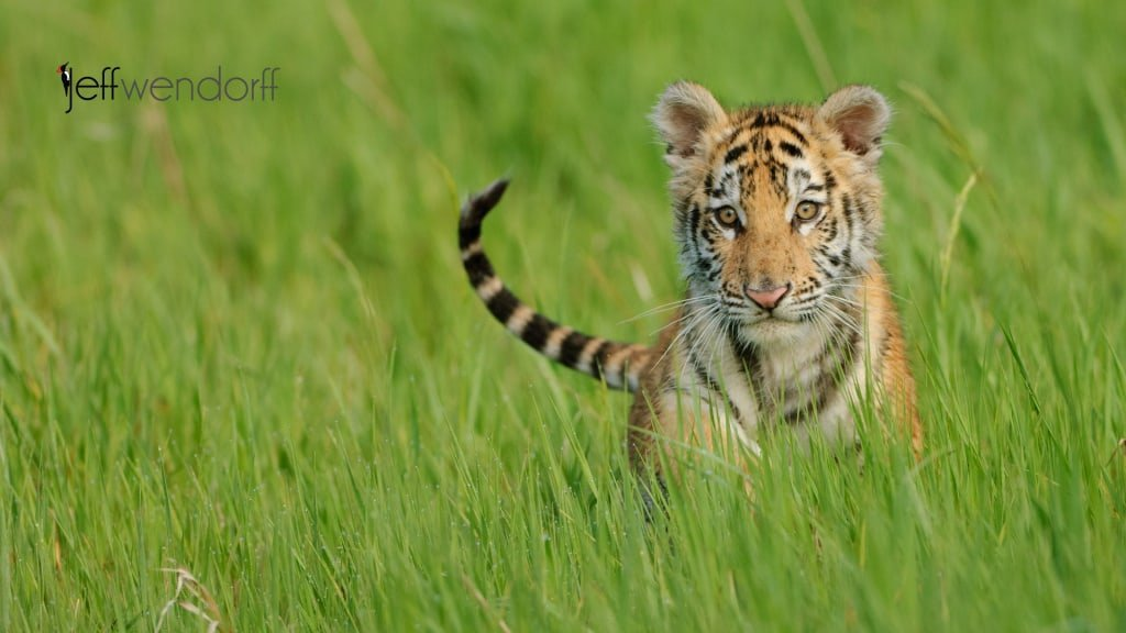 Tiger Cub - California Workshop