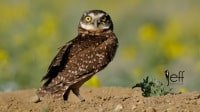Burrowing Owl - Athene cunicularia photographed by Jeff Wendorff
