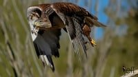 Ferruginous Hawk, Buteo regalis in flight photographed by Jeff Wendorff