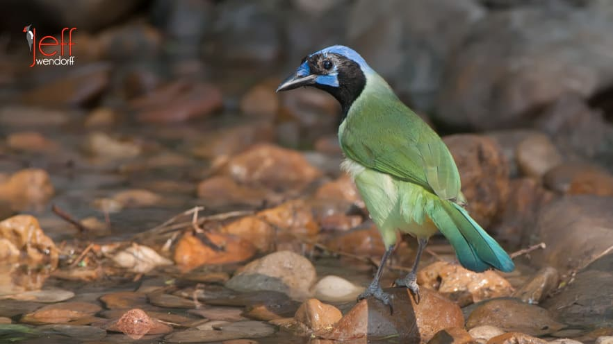 Green Jay, Cyanocorax yncas photographed by Jeff Wendorff