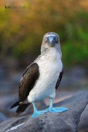Blue-footed Booby, Sula nebouxii photography by Jeff Wendorff