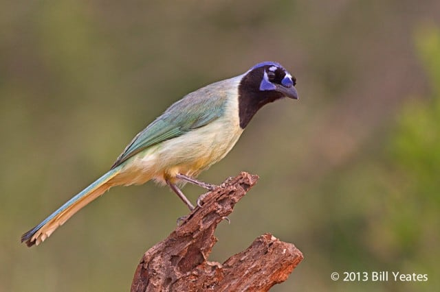 Green Jay photography by client, Bill Yeates, on Jeff Wendorff's South Texas Bird Photography Workshop.