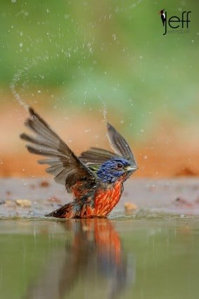 Painted Bunting at eye level from a pit blind photographed by Jeff Wendorff