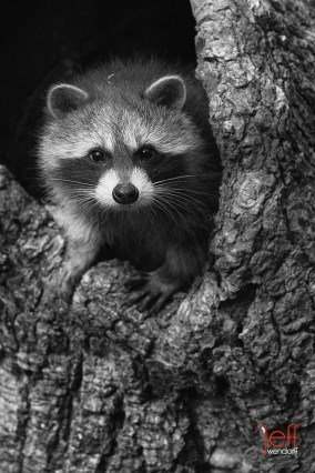 Raccoons Photography, young racoon converted to black and white, photographed by Jeff Wendorff