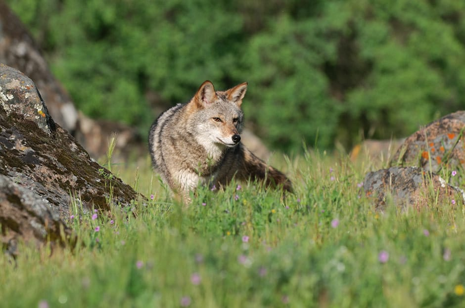 Photography Composition - Rule of Thirds Original Coyote Image photographed by Jeff Wendorff