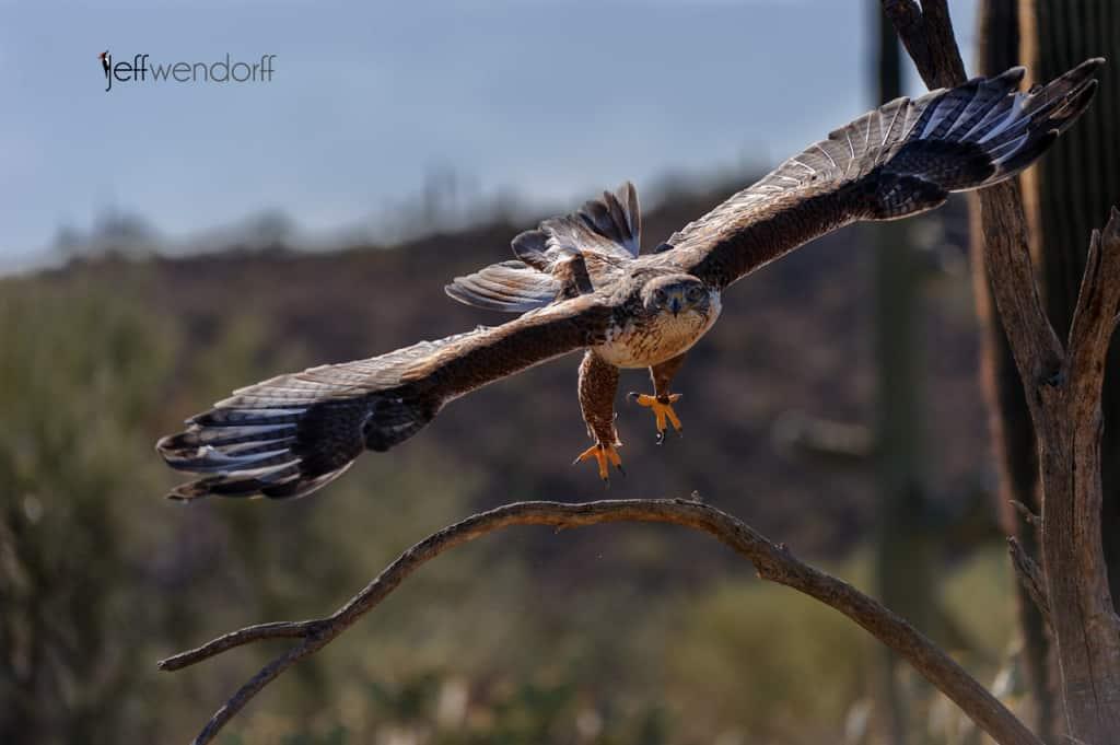 Bird Photography: Ferruginous Hawk, Buteo regalis at Arizona Sonora Desert Museum by Jeff Wendorff