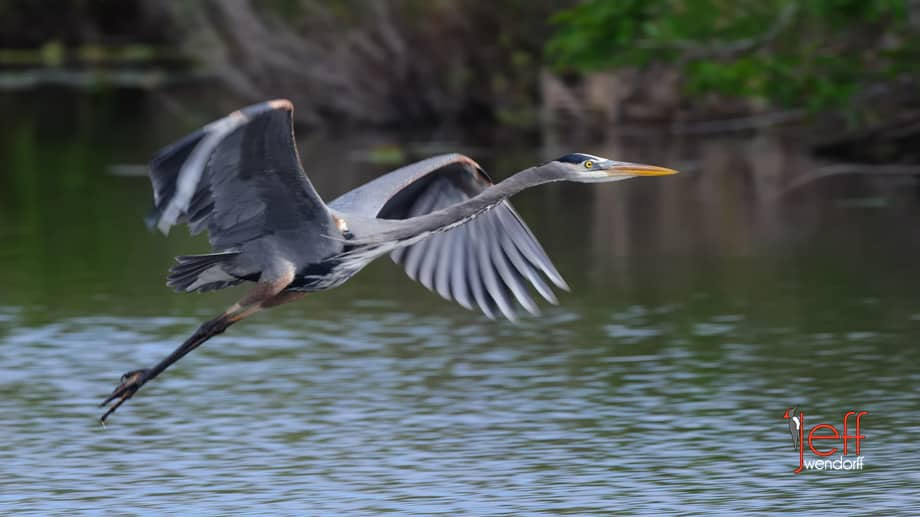 Great Blue Heron in flight using the NIkon 500mm F4 lens by Jeff Wendorff