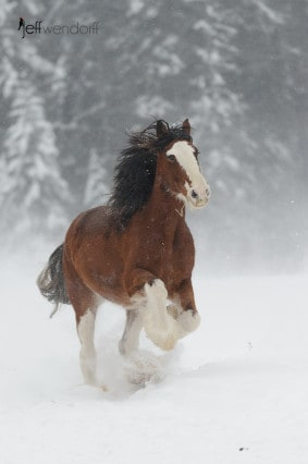 Clydesdale