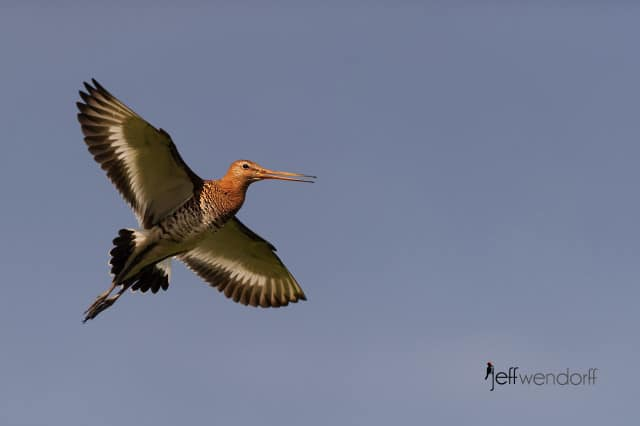 Black-Tailed Godwit, Limosa limosa photographed by Jeff Wendorff