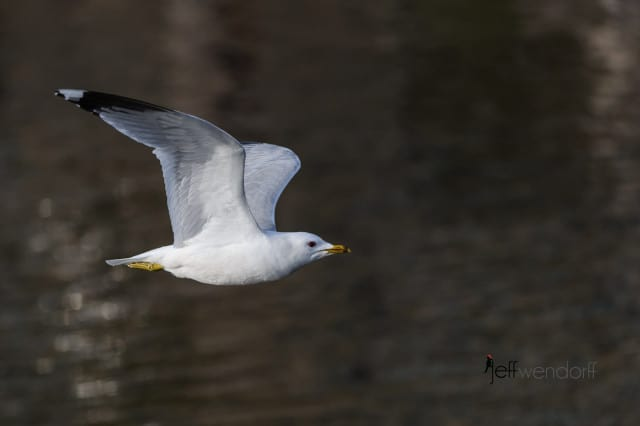 Common Gull, Larus canus canus photographed by Jeff Wendorff