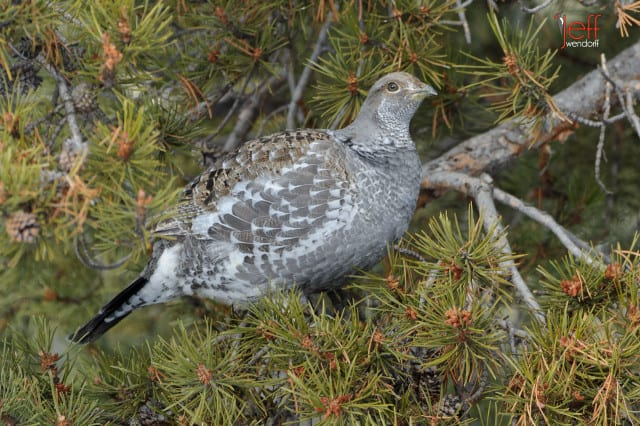 Dusky Grouse, Dendragapus obscurus. Also Blue Grouse photographed by Jeff Wendorff