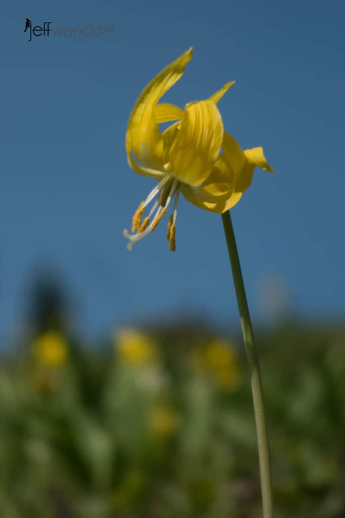 Glacier Lily near Logan Pass - Glacier National Park photographed by Jeff Wendorff