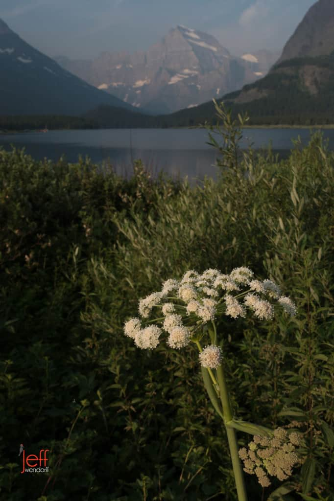 Cow Parsnip above Swiftcurrent Lake - Glacier Park photographed by Jeff Wendorff