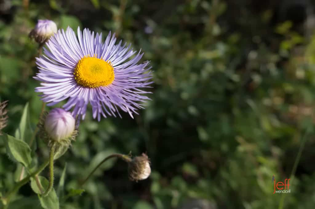 Showy Fleabane near Swiftcurrent Falls - Glacier Park photographed by Jeff Wendorff