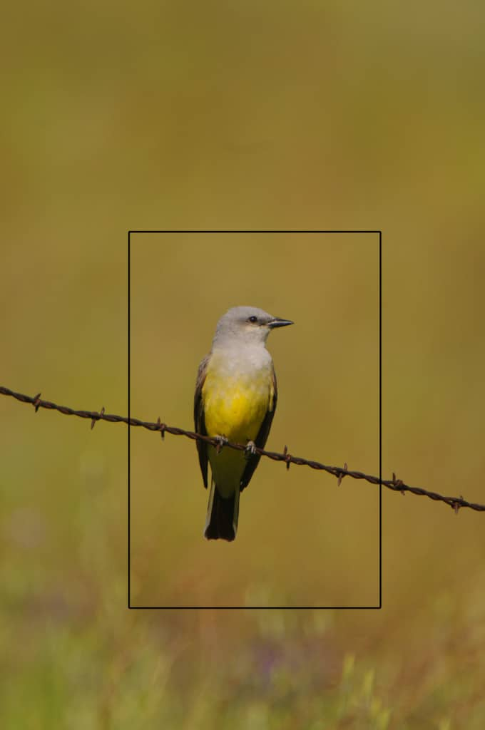 Starting Image showing the planned crop of a Western Kingbird photograph by Jeff Wendorff