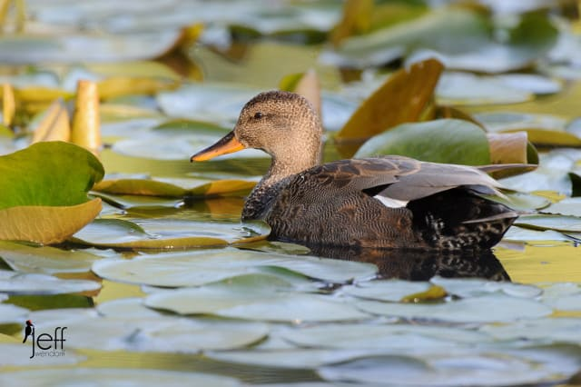Female Gadwall, Anas strepera photographed by Jeff Wendorff.