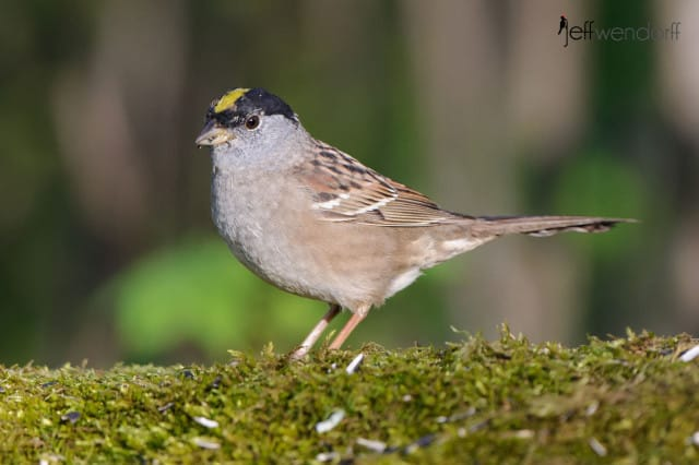 Golden-crowned Sparrow, Zonotrichia atricapilla photographed by Jeff Wendorff