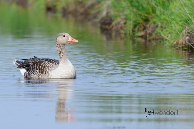 Greylag Goose, Anser anser photographed by Jeff Wendorff