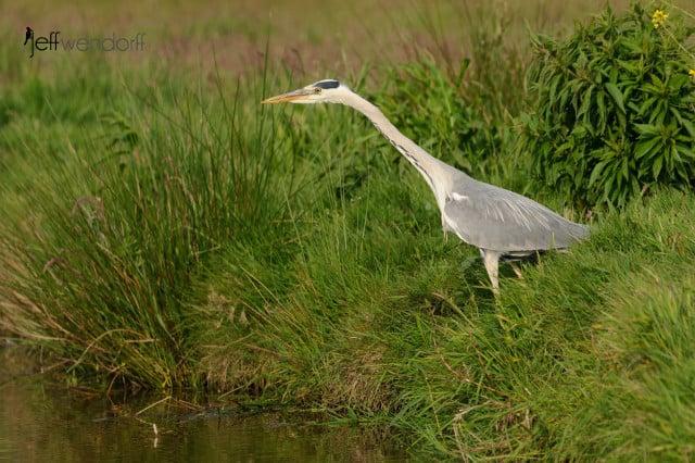 Grey Heron, Ardea cinerea photographed by Jeff Wendorff