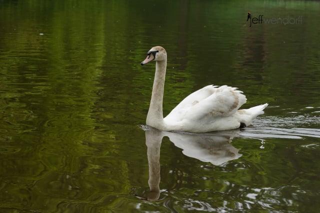 Mute Swan, Cygnus olor photographed by Jeff Wendorff