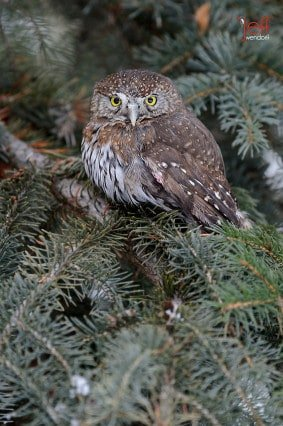 Northern Pygmy-Owl, Glaucidium gnoma photographed by Jeff Wendorff