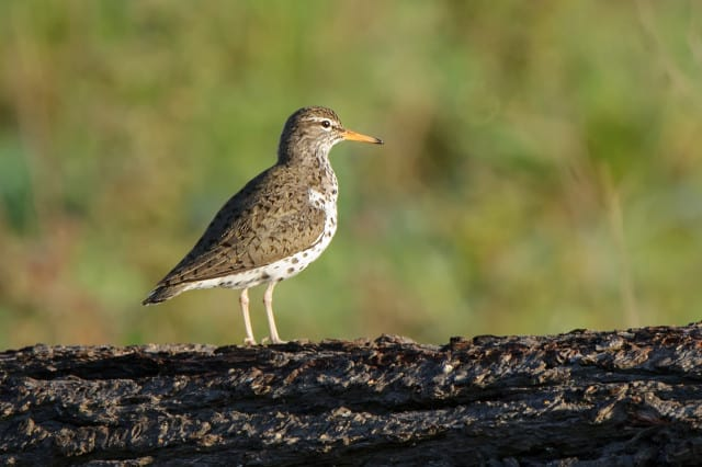Spotted Sandpiper, Actitis macularia photographed by Jeff Wendorff