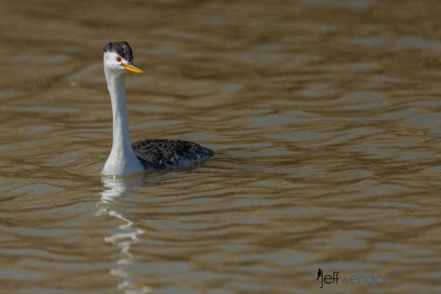 Western Grebe, Aechmophorus occidentalis photographed by Jeff Wendorff