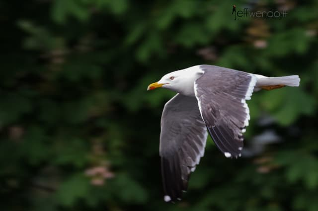 Yellow-legged Gull, Larus michahellis photographed by Jeff Wendorff